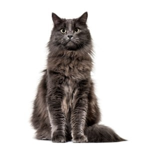 Chat main coon